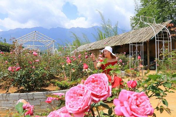 Đến Sapa ngắm những đóa hoa hồng cổ rực rỡ sắc màu