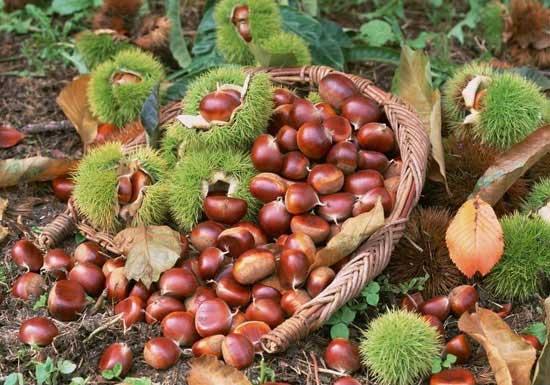 Hạt dẻ rừng Sapa