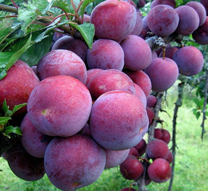 Những loại hoa quả đặc sản Sapa hấp dẫn
