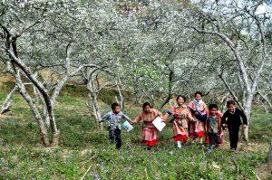 Thị trấn Sapa vào mùa xuân với những cánh rừng hoa mơ, hoa mận bạt ngàn